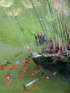 Goldfish in Balboa Park, San Diego [Photo courtesy of PD Photo via Creative Commons]