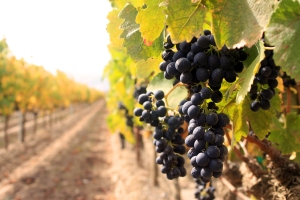 Vineyard Photo from Ventana Vineyards, Sustainable Vineyards