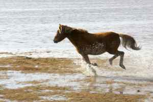 A wild horse frolics joyfully in a wild-horse-friendly refuge. (Photo by Steve Hildebrand, U.S. Fish and Wildlife Service, courtesy of Wiki-Commons.