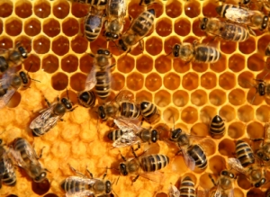 Bees making honey. Photo by New Jersey Farms, as seen in a fascinating honey-facts article on Green Co Services.