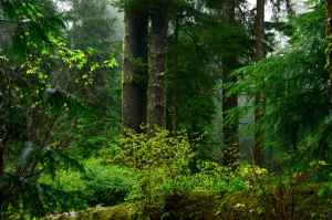 Old growth coastal forest. Image courtesy Public Domain Images.