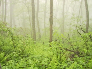 A Tender Foggy Forest. Public domain image courtesy of Burning Well.