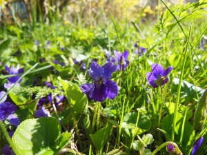 Wild violets. Public domain photo courtesy of pd4pics.