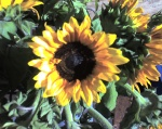 Sunflowers at a California Street Market in San Francisco. Photo by Jamie S. Walters. Use with source attribution and link per Creative Commons.