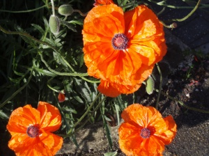 Fiery Poppies in Woburn, England, May 2007 by Jamie S. Walters. Creative Commons - use with attribution and a link to this post. Merci.