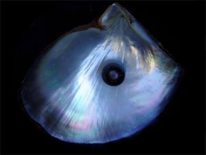 Black Pearl in His Shell. GNU-Free image from Brocken Inaglory, Wikimedia.