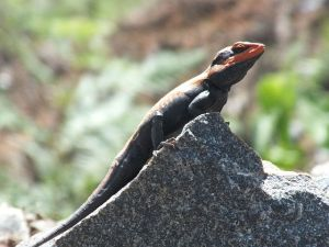 Banford Rock Agama, India. Photo by Solomon Paulraj, PD CC-SSA Wikimedia.